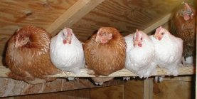 chickens_at_roost2_sm